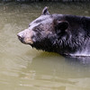 Florida black bear swims across the river