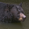 Florida black bear swims across the river