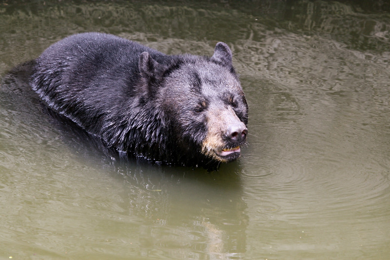 Florida black bear crossing the river