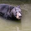 Florida black bear crossing the river
