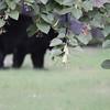 Florida black bear