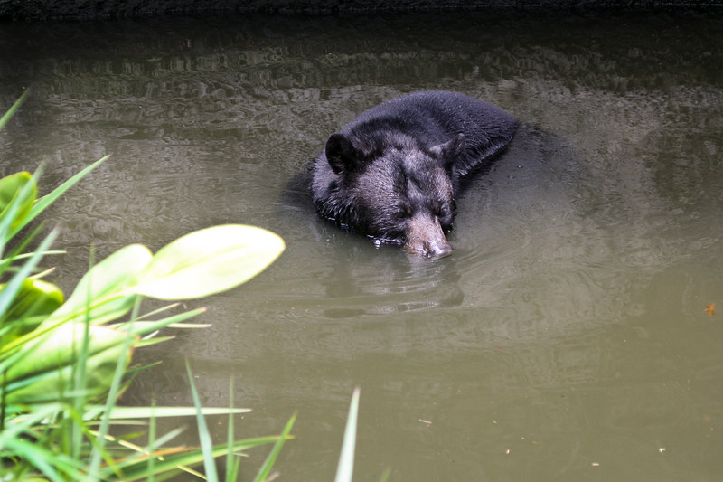 Florida black bear in the water
