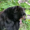 Florida black bear yawning