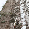 Bear tracks in mud_RS84309
