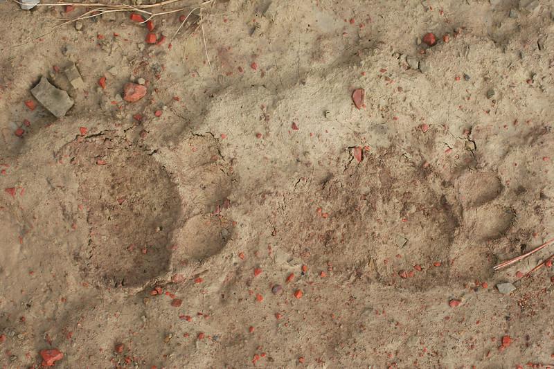 Bear tracks_RS84311