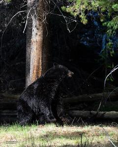 Black Bear, Yellowstone NP, WY, USA May 2018-1