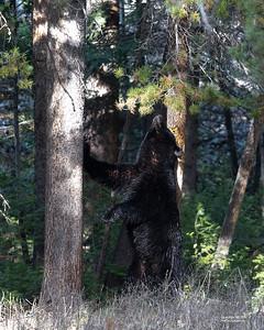 Black Bear, Yellowstone NP, WY, USA May 2018-2