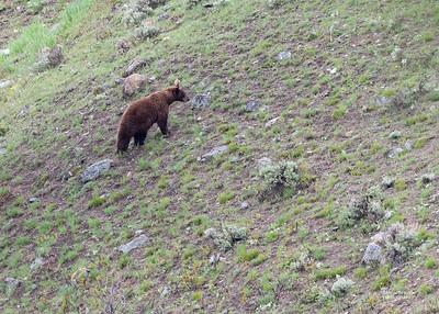Black Bear, Yellowstone NP, WY, USA May 2018-4