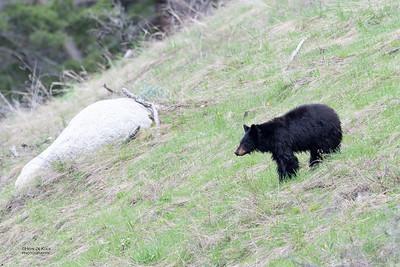 Black Bear, Yellowstone NP, WY, USA May 2018-3