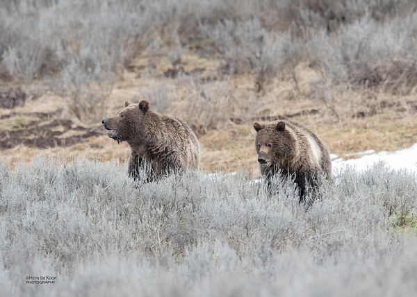 Grizzly Bear, Yellowstone NP, WY, USA May 2018-6
