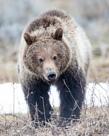 Grizzly Bear, Yellowstone NP, WY, USA May 2018-2