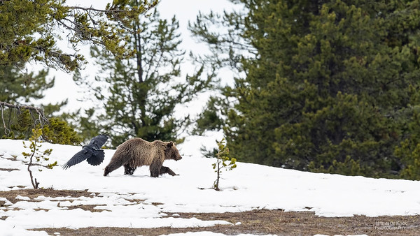Grizzly Bear, Yellowstone NP, WY, USA May 2018-4