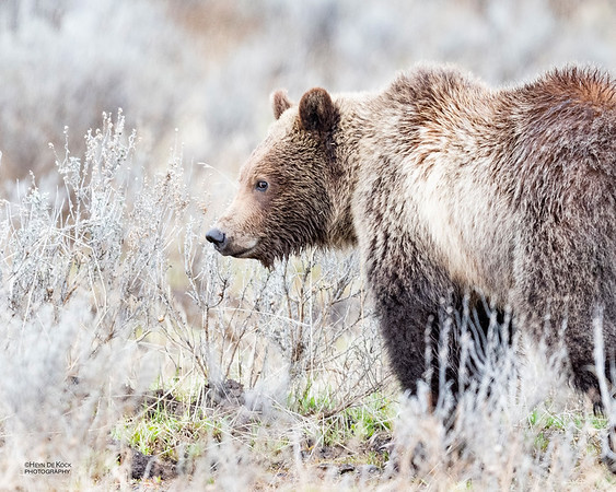 Grizzly Bear, Yellowstone NP, WY, USA May 2018-3