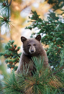 Black bear cub in tree