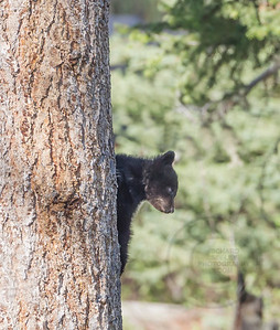Black Bear Cub Hiding Up A Tree