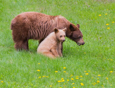 Black Bear Mother and Cub Picnic