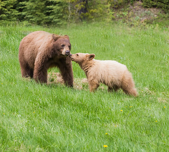 Black Bear Mother and Cinnamon Colored Cub Sniffing