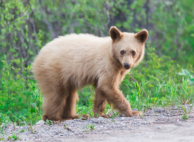 Curious Blond Black Bear Cub