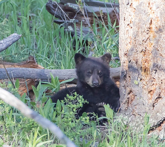 Black Bear Cub On Rest Break