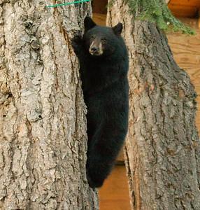 Black Bear  Mammoth Lakes 2013 04 26 (2 of 6).CR2