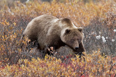 Grizzly in the Bear Berries