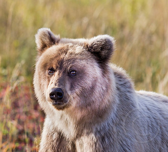 Curious Cinnimon Grizzly Bear Cub