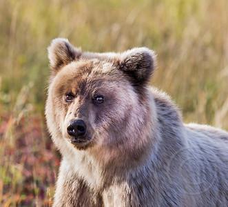 Curious Cinnimon Grizzly Bear Cub
