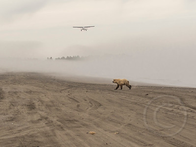 Plane and Bear Crossing