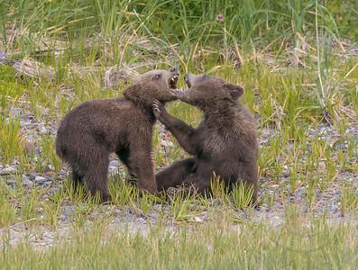 Bears Barring Teeth