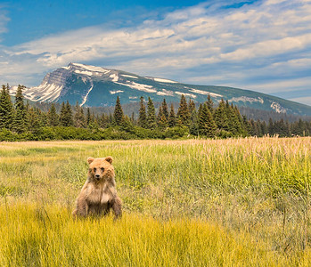 Grizzly in Golden Ground Cover