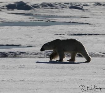Arctic Prowler