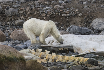Polar Bear on Carcass