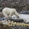 Polar Bear on Carcass