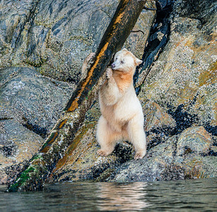 Spirit Bear Log Lifter