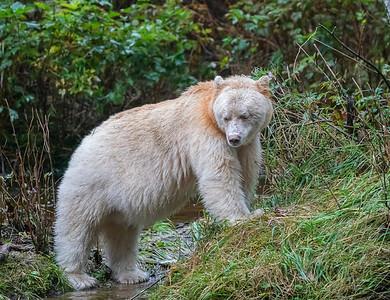 Spirit Bear Salmon Alert