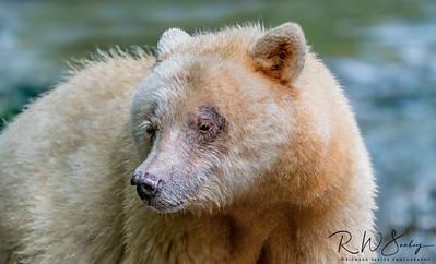 Spirit Bear Ma-ah Up Close