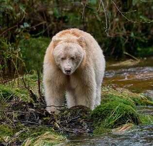 Spirit Bear Stare