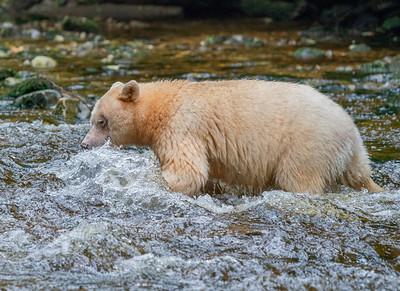 Spirit Bear Making Waves