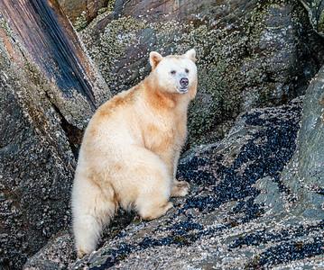 Spirit Bear Climbing for Barnacles