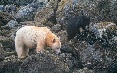 Spirit Bear and Cub Eating Barnacles