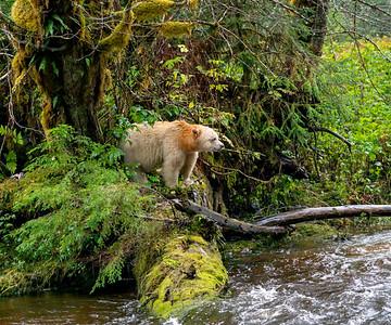 Spirit Bear Lookout