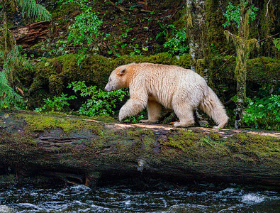 Spirit Bear on Balance Beam