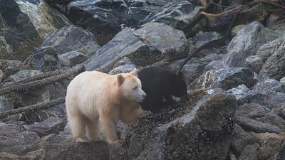Spirit Bear and Cub Eat Barnacles