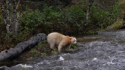 Spirit Bear Log Walker