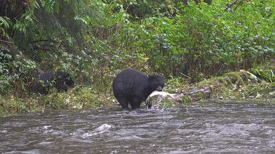 Fish Feast For Bear Cubs