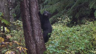 Bear Cub Agile Descent