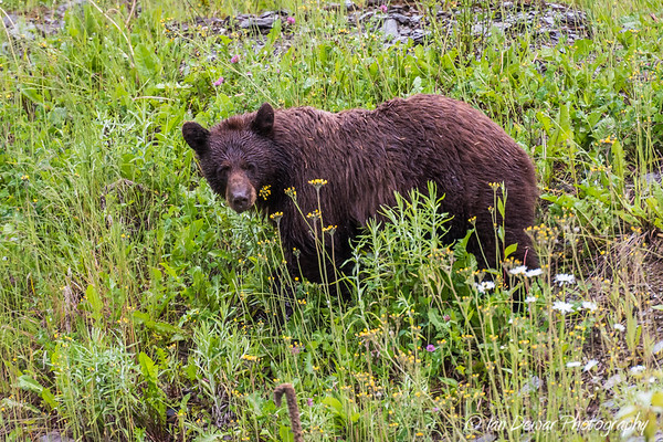 Brown Bear on a damp day
