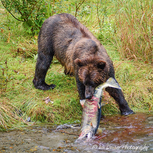 Grizzly bear with prize salmon