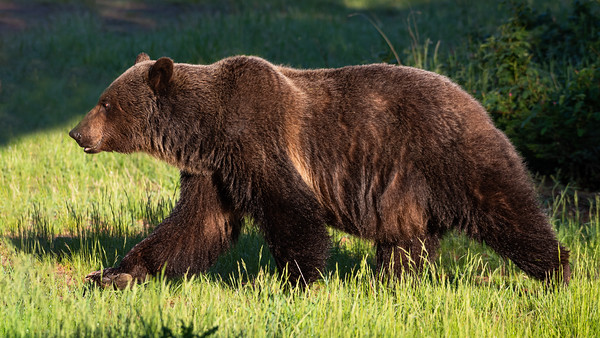 Grizzly bear strides across the meadow