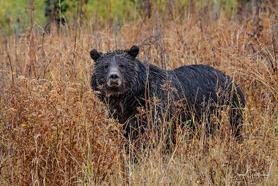 "My wife saw her first.  We had just turned around at the Two Oceans Lake trailhead and were headed back down the muddy road with the same name.  Earlier we had been a part of a bear jam that witnessed Bear 610 and her two cubs up among the aspen trees (they never really came out for a clear photo op) and decided to move on.  This young sow was rooting around looking for tasty morsels and actually got quite close to our jeep.  She never seemed bothered or upset by us or the other vehicles that began to gather around.  The gentleman in front of us gave us his opinion (he appeared to be knowledgeable about the bears and said he did wildlife photo workshops in the area) that the only reason that 610 tolerated this one's presence so close to her current set of cubs was that she was one of her cubs from 2011.  I explained to him that I had been in the park in 2011 and was able to capture 399 with her three cubs.  He then said that 399 lost one of her cubs right after my previous visit and 610 ""adopted"" that one and cared for her.  Could this be one of the cubs that I saw four years ago and now was all grown up and ready to carry on the traditions of 399 and 610?  No one really knows for sure, but I like to think that this is one of those cute little cubs I saw.  In any event she is a beautiful young grizzly and I love the way her fur looks in the morning rain."